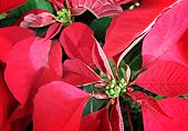 stock photo of poinsettia  - Close up of leafs from a red poinsettia.