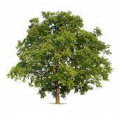 picture of walnut-tree  - Isolated walnut tree on a white background - JPG