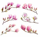 foto of magnolia  - pink magnolia flower isolated on white background - JPG