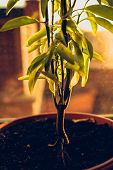 stock photo of tangerine-tree  - Toned photo of tangerine tree growing in pot - JPG