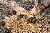image of beaver  - Trees in near water gnawed by beavers - JPG