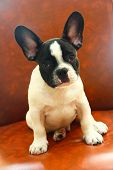 picture of french bulldog puppy  - French bulldog puppy Sitting on the sofa  - JPG