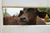 picture of carabao  - This a photo of Murrah buffalo in farm - JPG