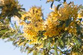 foto of mimosa  - Mimosa tree with yellow flowers in March - JPG