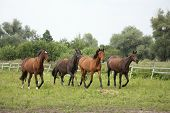 picture of wild horse running  - Herd of horses running free at pasture in summer - JPG