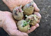 pic of germination  - close - JPG