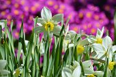 picture of daffodils  - Blooming bright daffodils in spring  on the flowerbed against a background of purple flowers - JPG