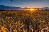 foto of grown up  - Sunset over cereal field with grown up ears - JPG