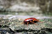 stock photo of cockroach  - Close up of red cockroach enjoying sun - JPG