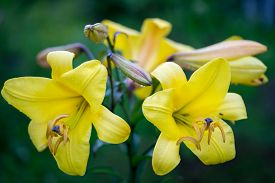 picture of asiatic lily  - Vibrant yellow colored bunch of Asiatic Lily flowers - JPG