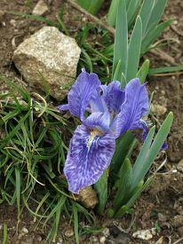 picture of purple iris  - Purple iris photographed in the Himalayas - JPG
