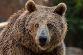 Eurasian brown bear (Ursus arctos arctos), also known as the European brown bear.  poster
