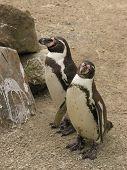 Постер, плакат: Пингвины