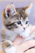 Portrait Of Kitty Cat In Hands Closeup poster
