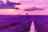 Panoramic View Of French Lavender Field At Sunset. Sunset Over A Violet Lavender Field In Provence,  poster