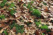 Oak Leavesand Grass .  Autumn Oak Leaves Background poster