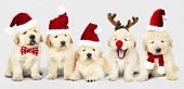 Group of adorable Golden Retriever puppies wearing Christmas costumes poster