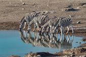Zebra Reflection In Etosha Namibia Wildlife Safari poster