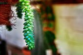 Succulent Stem Of The Succulent Plant Hangs From The Pot. Bright Green Leaves Are Collected In Dense poster