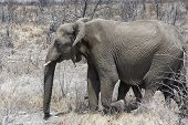Desert Elephant Walking In The Dried Up Hoanib River In Namibia. Desert Elephants Are African Bush E poster