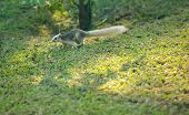 Finlaysons Squirrel (the Variable Squirrel) Is Canopy-dweller Rodent, Normally Feeding On Fruit, In poster