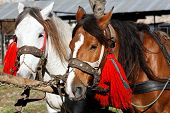 picture of blinders  - Portrait of two adorned horses - JPG