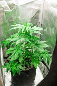 Cannabis Flower Indoor Growing. Marijuana Business. Grow In Grow Box Tent. Planting Cannabis. Northe poster