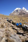 picture of workhorses  - Mule train carrying loads with Cuyoc mountain in background Cordillera Huayhuash Andes Peru South America  - JPG