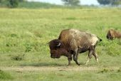 picture of wallow  - A large bull bison covered with dirt from wallowing in the dust wallow in the foreground - JPG