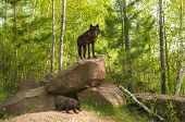 pic of lupus  - Black Wolf  - JPG