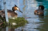 image of grebe  - Crested grebe duck  - JPG