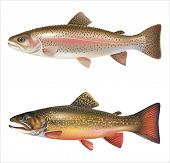 picture of brook trout  - Rainbow trout and brook trout isolated on white - JPG