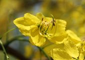 stock photo of cassia  - beautiful yellow flowering cassia flower with pollen - JPG