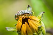 pic of shield-bug  - Shield Bug Sitting On Yellow Flower Close Up - JPG