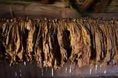 pic of tobacco leaf  - of tobacco leaves hung for drying process - JPG