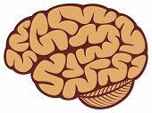picture of cerebrum  - The human brain vector illustration on white background - JPG