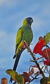 foto of monk fruit  - The all green parrot with a black head is seen in many cities in the country - JPG