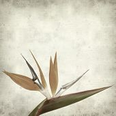 image of bird paradise  - textured old paper background with bird of paradise flower - JPG