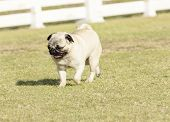 stock photo of pug  - A small young beautiful fawn Pug with a wrinkly short muzzled face running on the lawn looking playful and cheerful - JPG