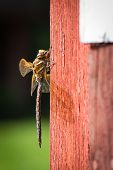 Постер, плакат: Dragonfly on red wall