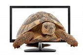 stock photo of testudo  - turtle comes from computer monitor isolated on white background - JPG