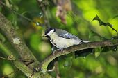 stock photo of great tit  - Juvenile Great Tit - Parus major