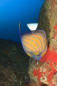 image of angelfish  - Ringed Angelfish - JPG