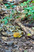 stock photo of pythons  - Reticulated python prepare attacking its prey on the ground in the forest - JPG
