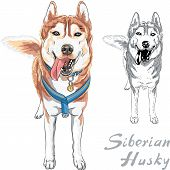 picture of husky sled dog breeds  - dog Siberian Husky breed standng and smiling - JPG
