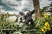 image of calves  - A young Jersey calf lying in the long grass next to a wooden post of a wire fence - JPG