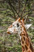 picture of sub-saharan  - A Masai Giraffe eating leafs from a thorny acacia tree - JPG