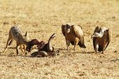 stock photo of jackal  - Jackal eats the remains of a Wildebeast with vultures on the Masai Mara National Reserve safari in southwestern Kenya - JPG