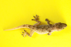 stock photo of hemidactylus  - Small Gray Gecko Lizard on a Colored Background - JPG
