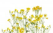 picture of tansy  - group of yellow flowers isolated on white background - JPG